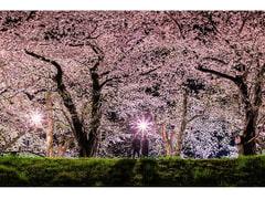 朱緋桜~約束の木の下で~